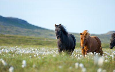 Spurning 1: Orkulaus og þungur hestur